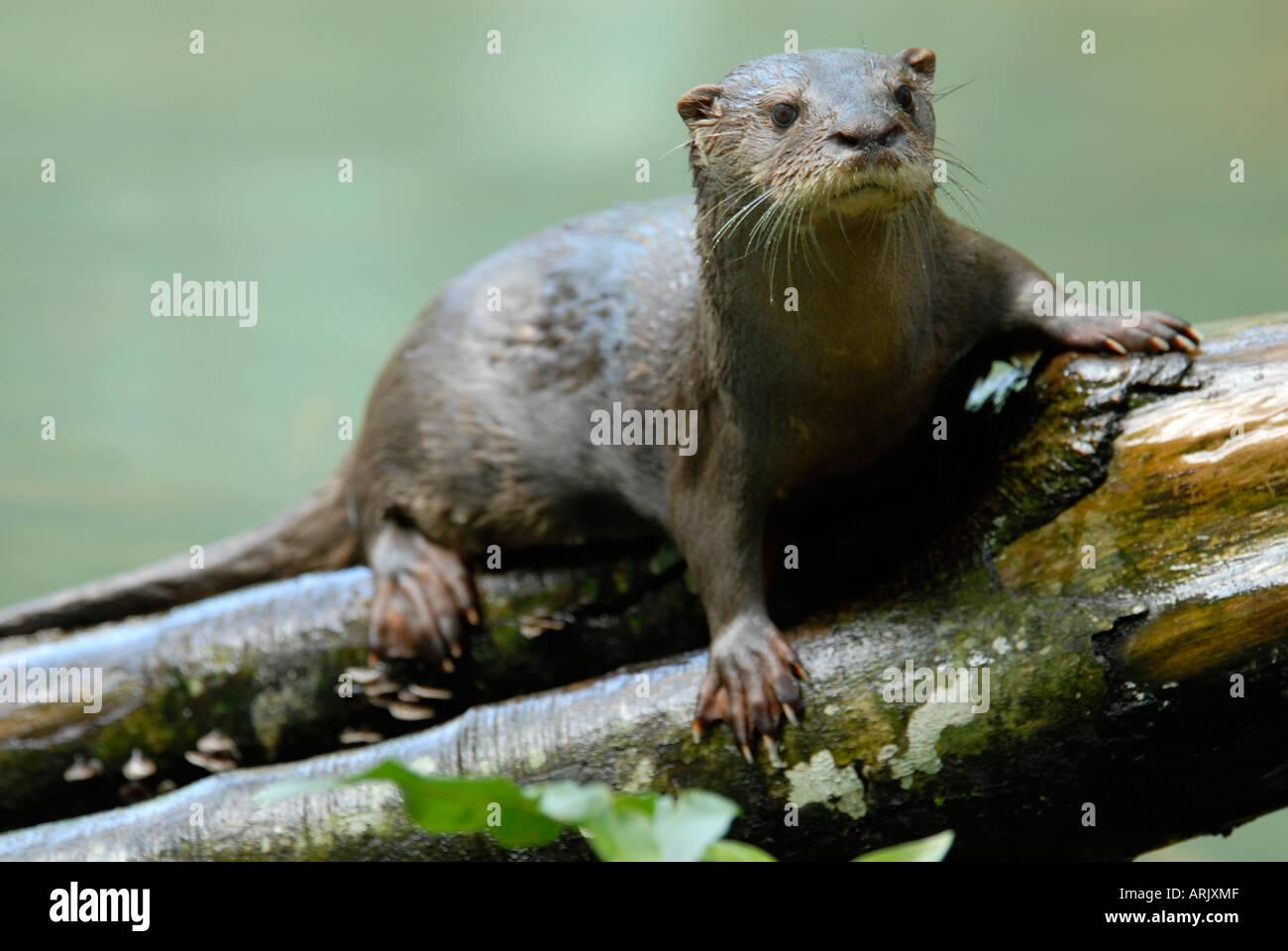 Neotropical Otter Lutra longicaudis. Amazon rainforest Stock Photo