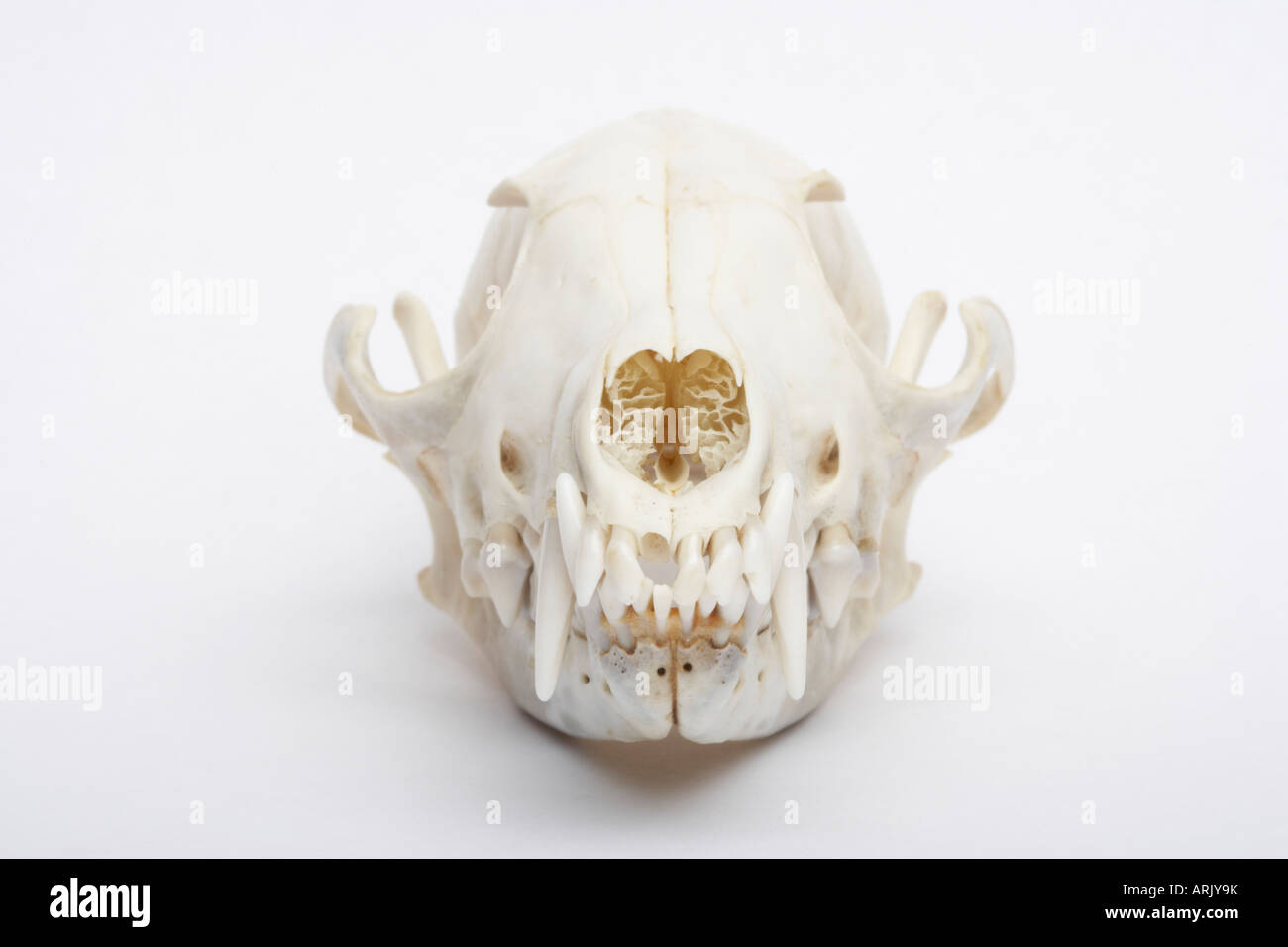 Front view of a Red Fox skull (Vulpes vulpes Stock Photo ...