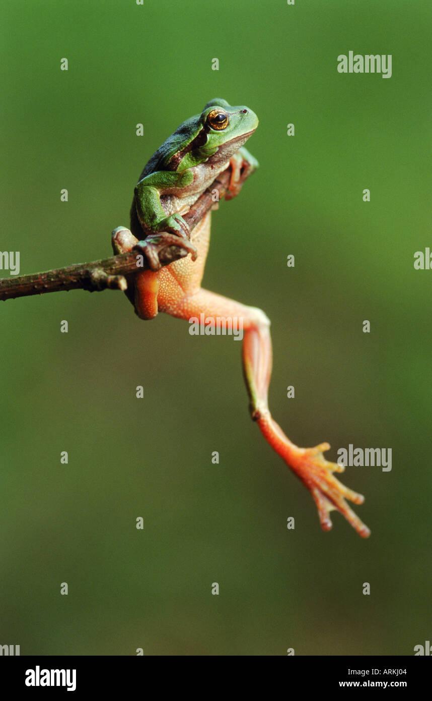 European treefrog climbing on twig / Hyla arborea - Stock Image