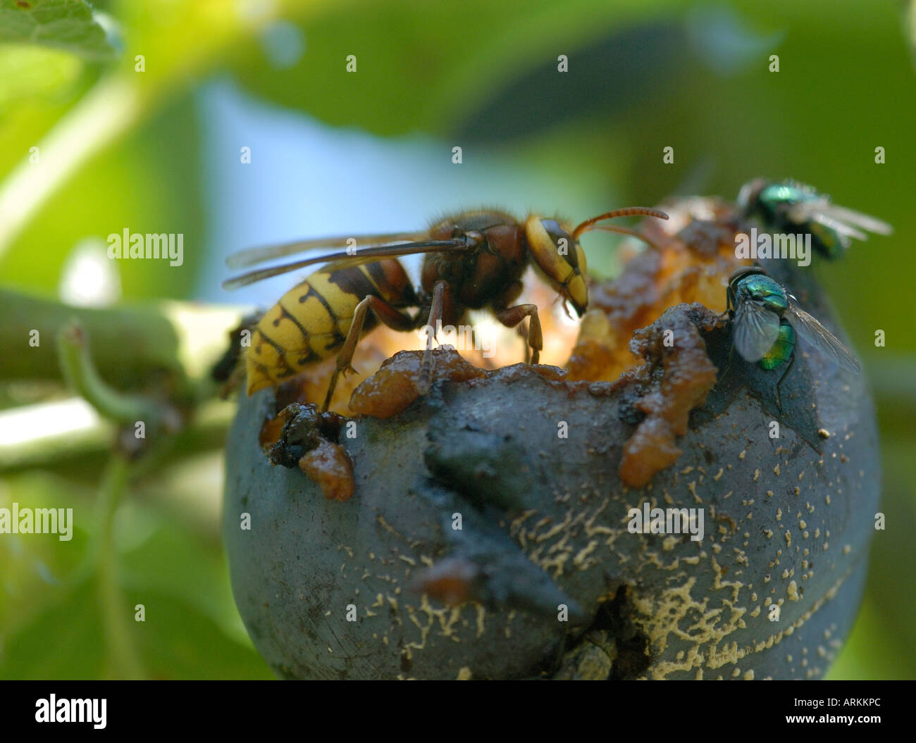 Hornet Vespa crabro eating a rotten mouldy plum Plum pulp can be seen in the hornet s massive jaws - Stock Image