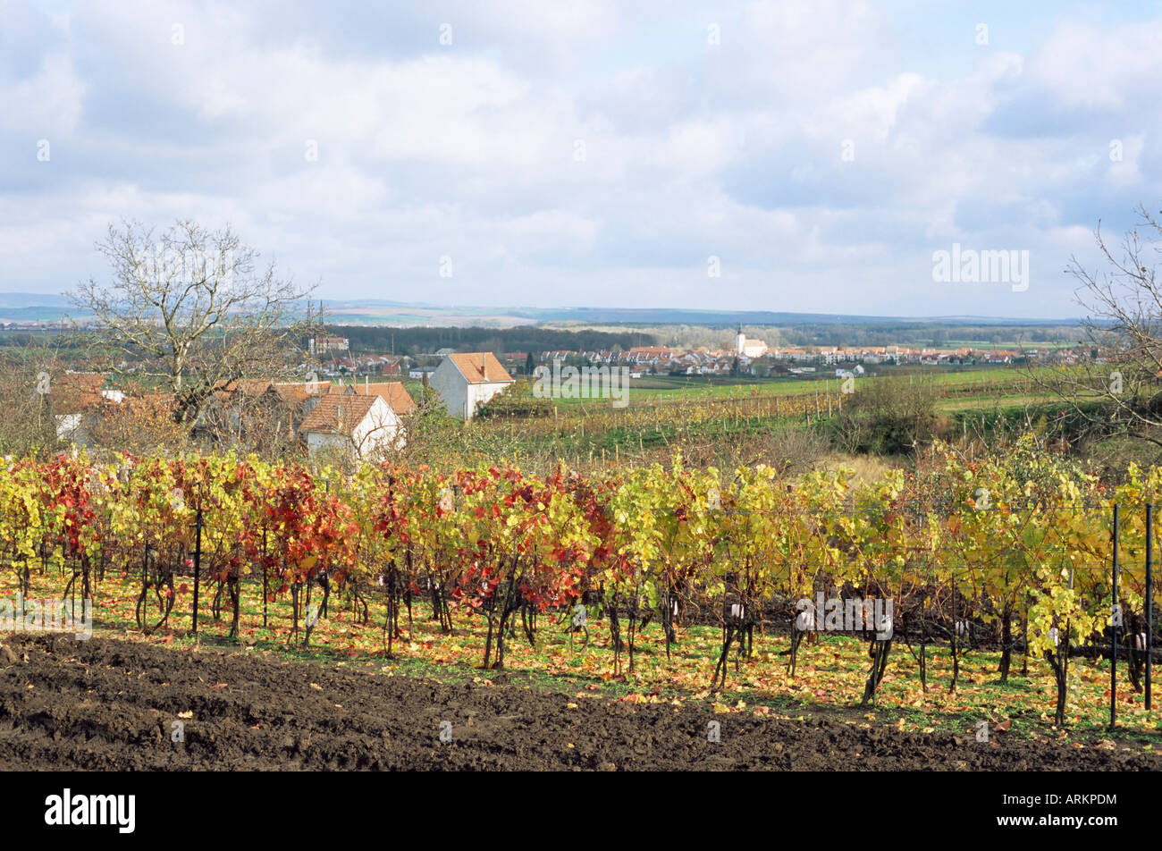 Vines at vineyard in autumn, Sidleny Wine Cellars in Milotice, Moravian Slovacko folk region, Milotice, Brnensko, Stock Photo