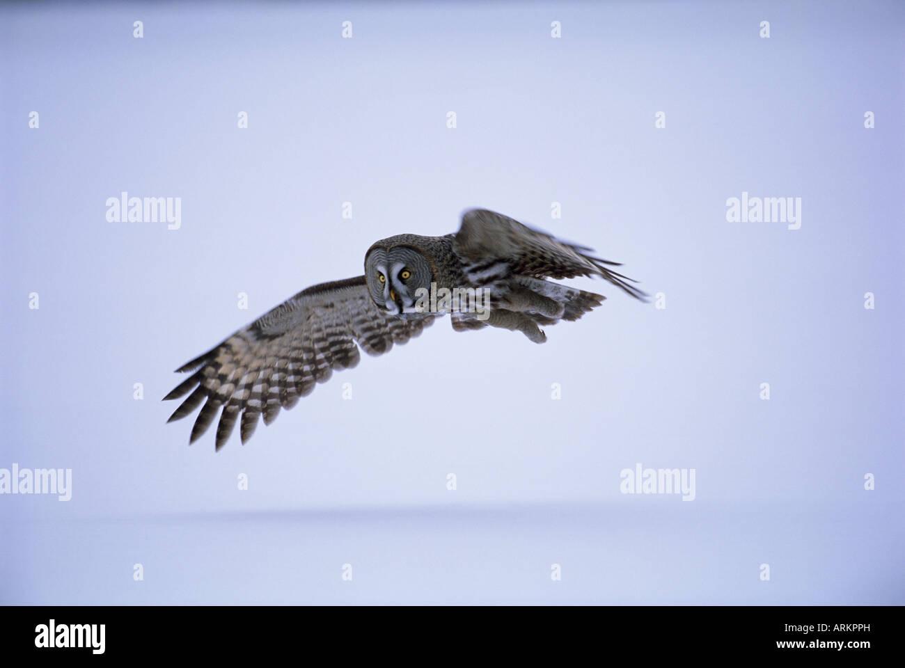 Great grey owl (Strix nebulosa) in flight, Finland, Scandinavia, Europe - Stock Image
