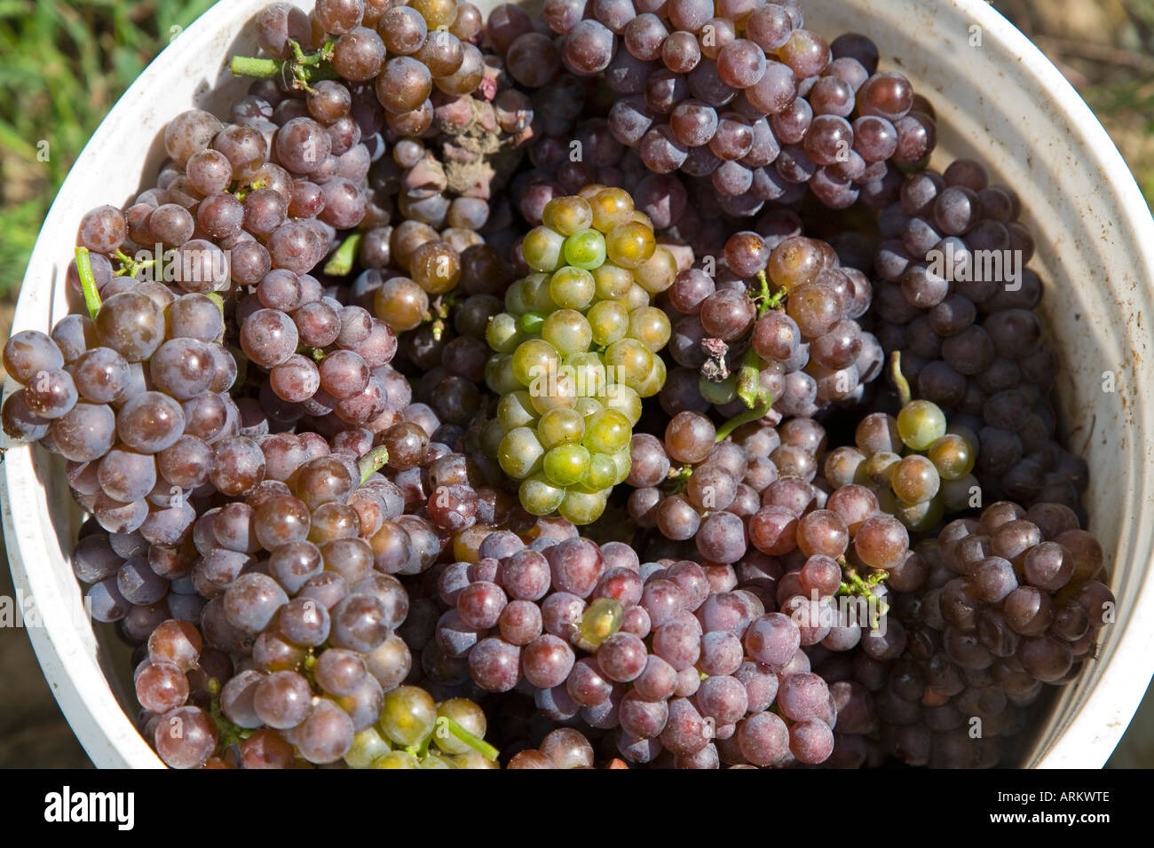 Coloma Michigan Pinot gris grapes harvested at the Karma Vista winery in southwestern Michigan - Stock Image