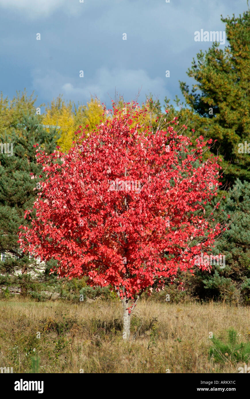 Colorful Foliage Of A Red Sugar Maple Tree During Autumn Fall Color Stock Photo Alamy,Personal Space Meme