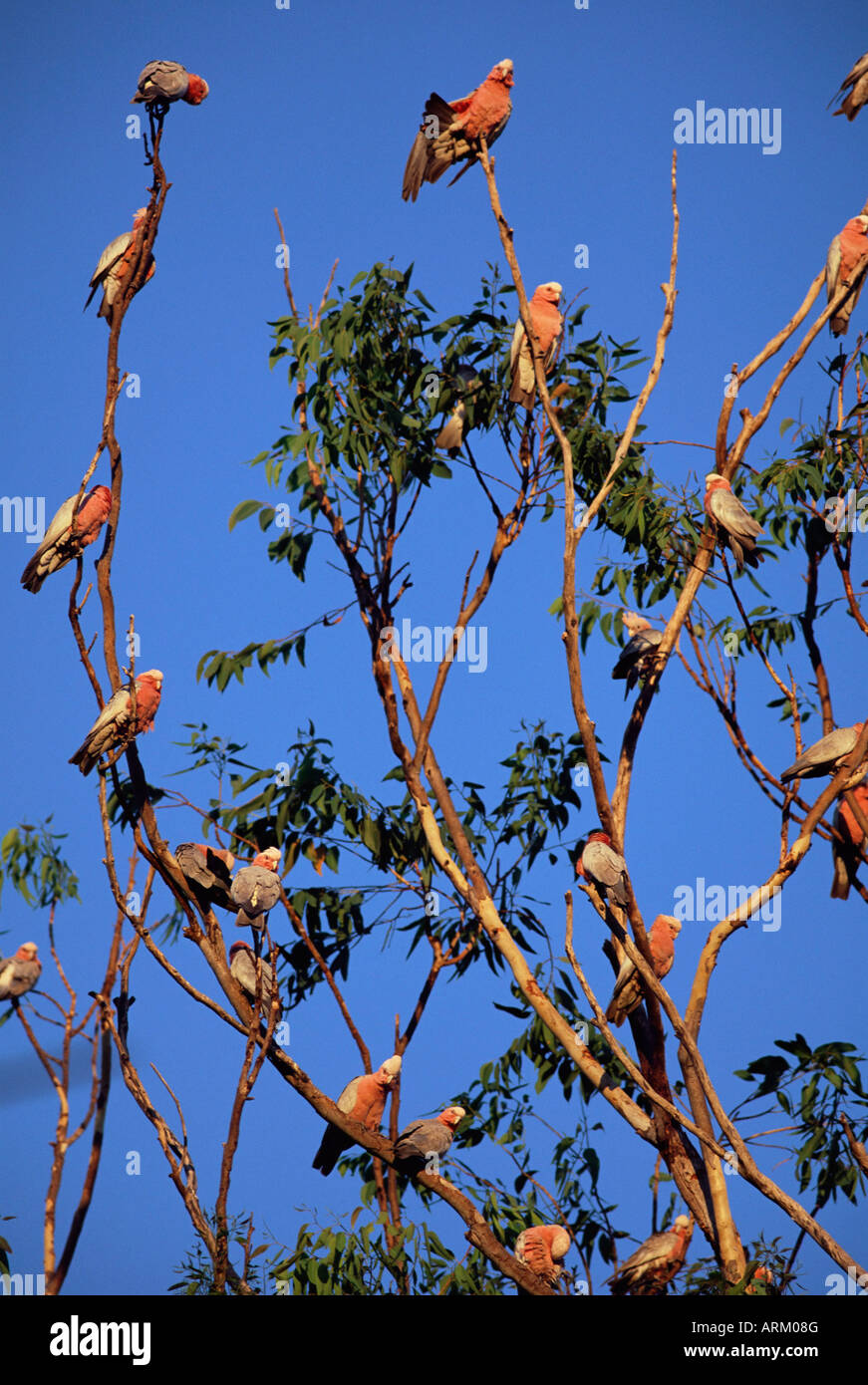 Galahs, Cacatua roseicapilla, Batchelor, Northern Territory, Australia, Pacific - Stock Image
