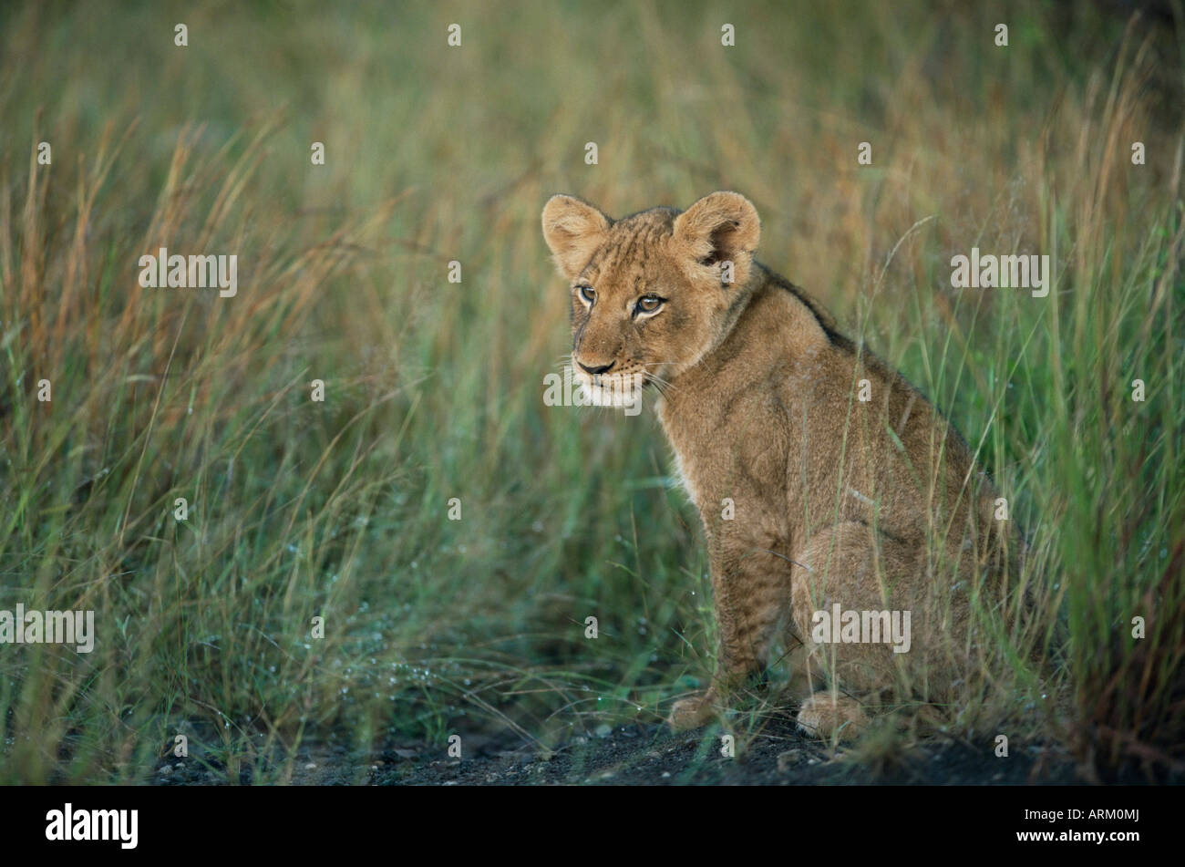 Lion cub, Panthera leo, approximately two to three months old, Kruger National Park, South Africa, Africa - Stock Image