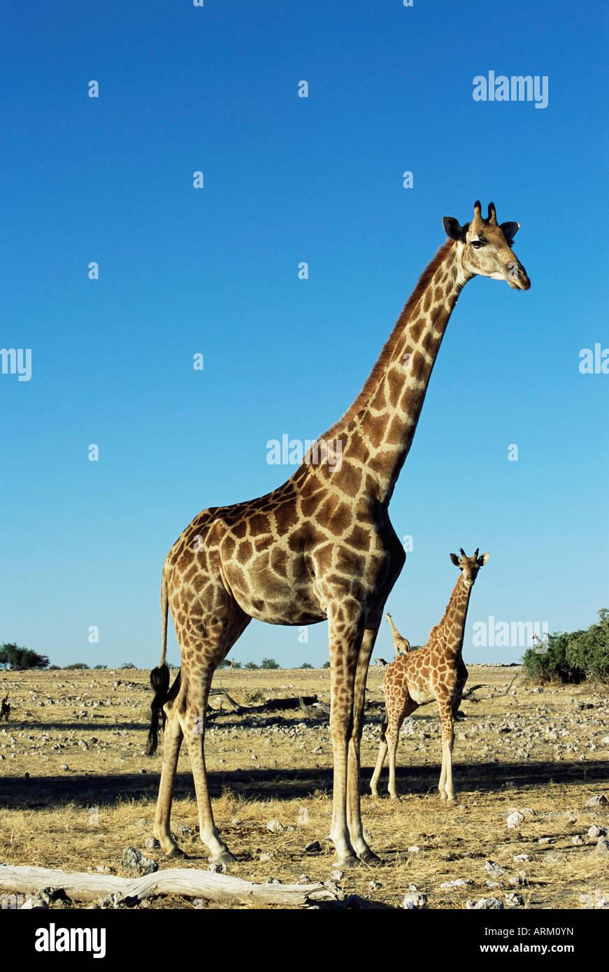 Giraffe, Giraffa camelopardalis, Etosha National Park, Namibia, Africa - Stock Image