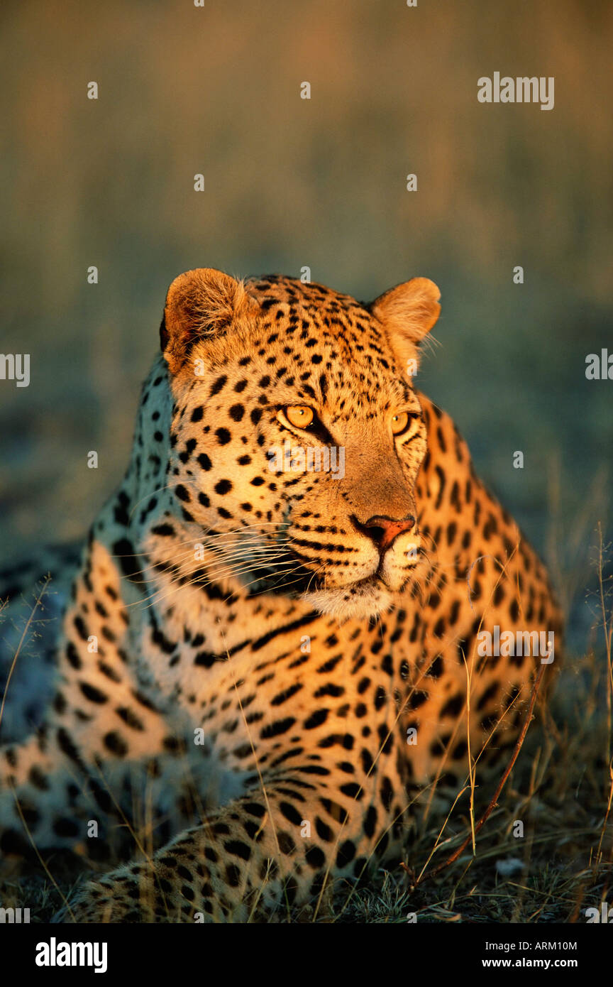 Male leopard, Panthera pardus, in captivity, Namibia, Africa - Stock Image