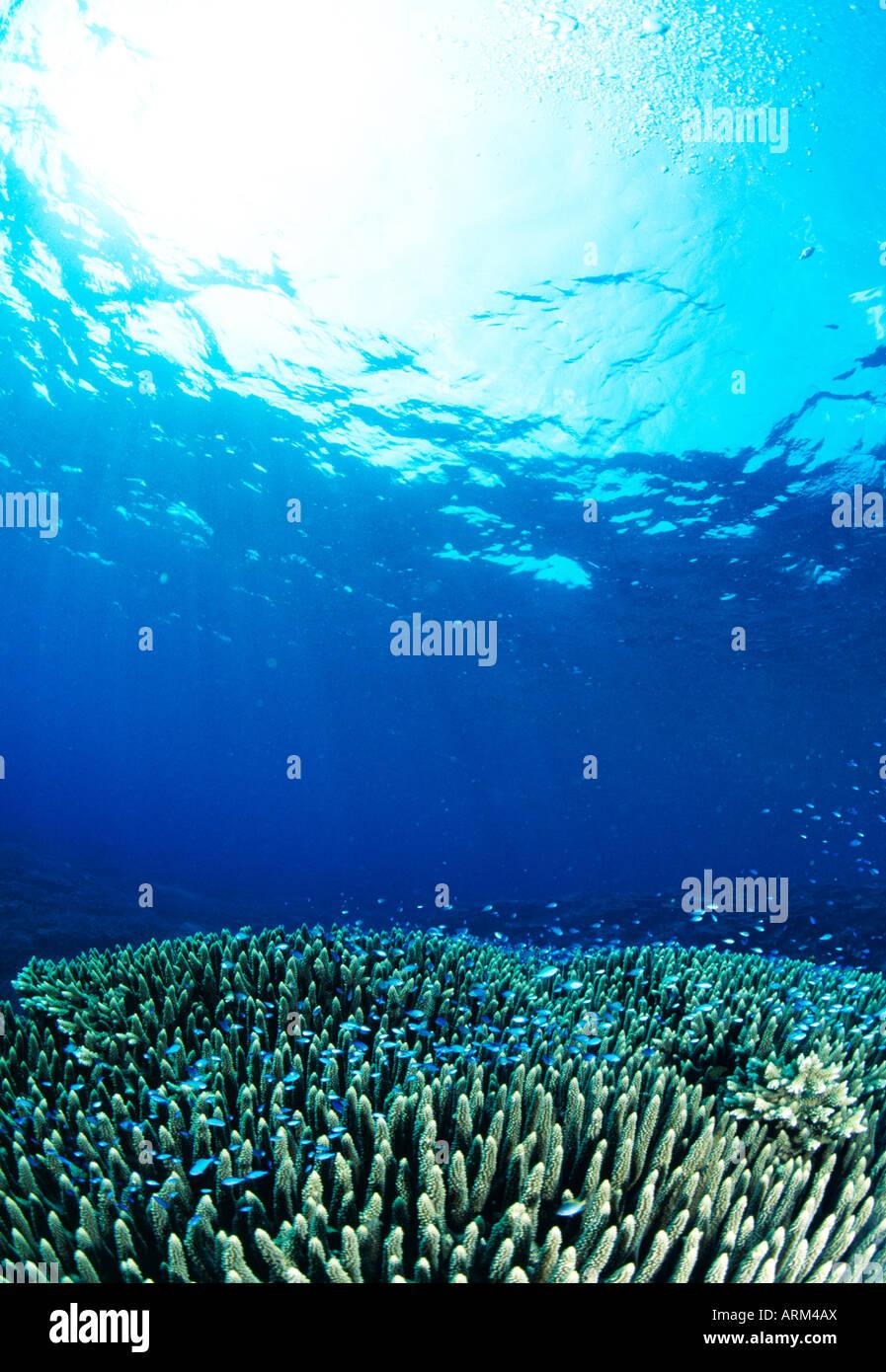 Bluegreen puller (Chromis viridis) and Coral, Okinawa, Japan - Stock Image