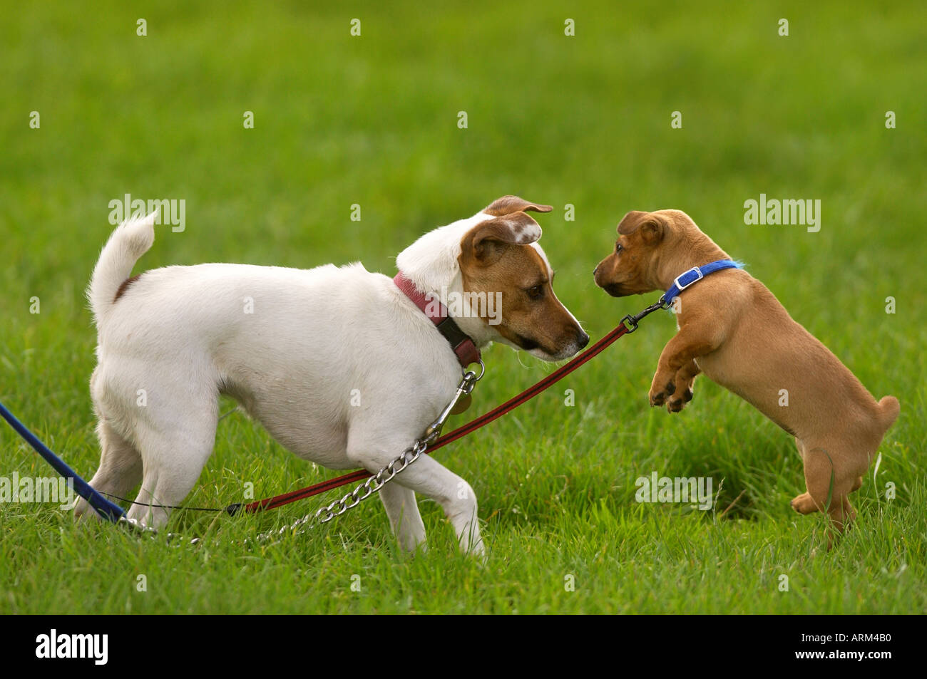 TWO DOGS PLAYING WHILE ON THEIR LEADS - Stock Image