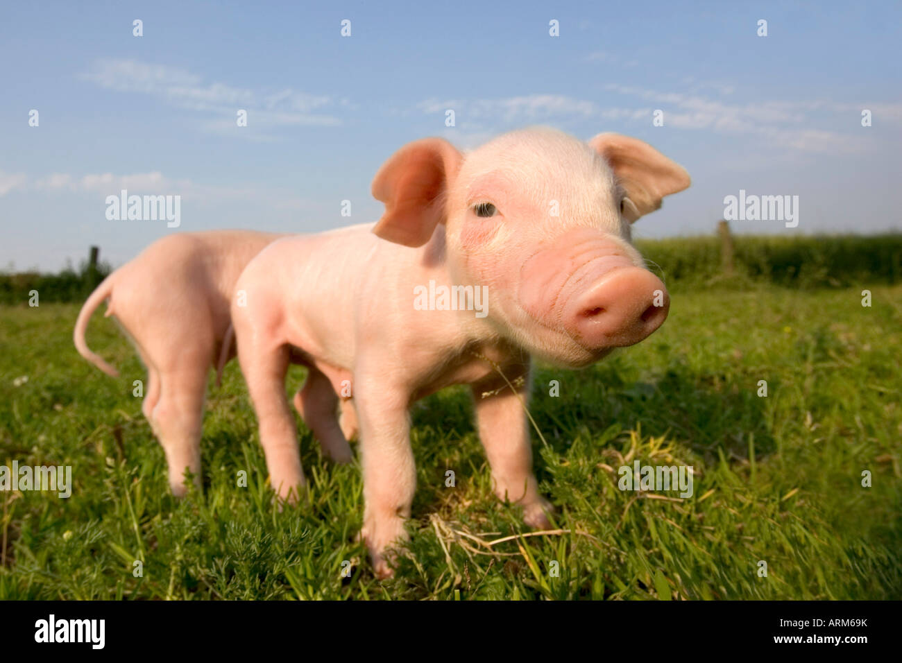 Domestic pig, Huellhorst, Germany, Europe - Stock Image