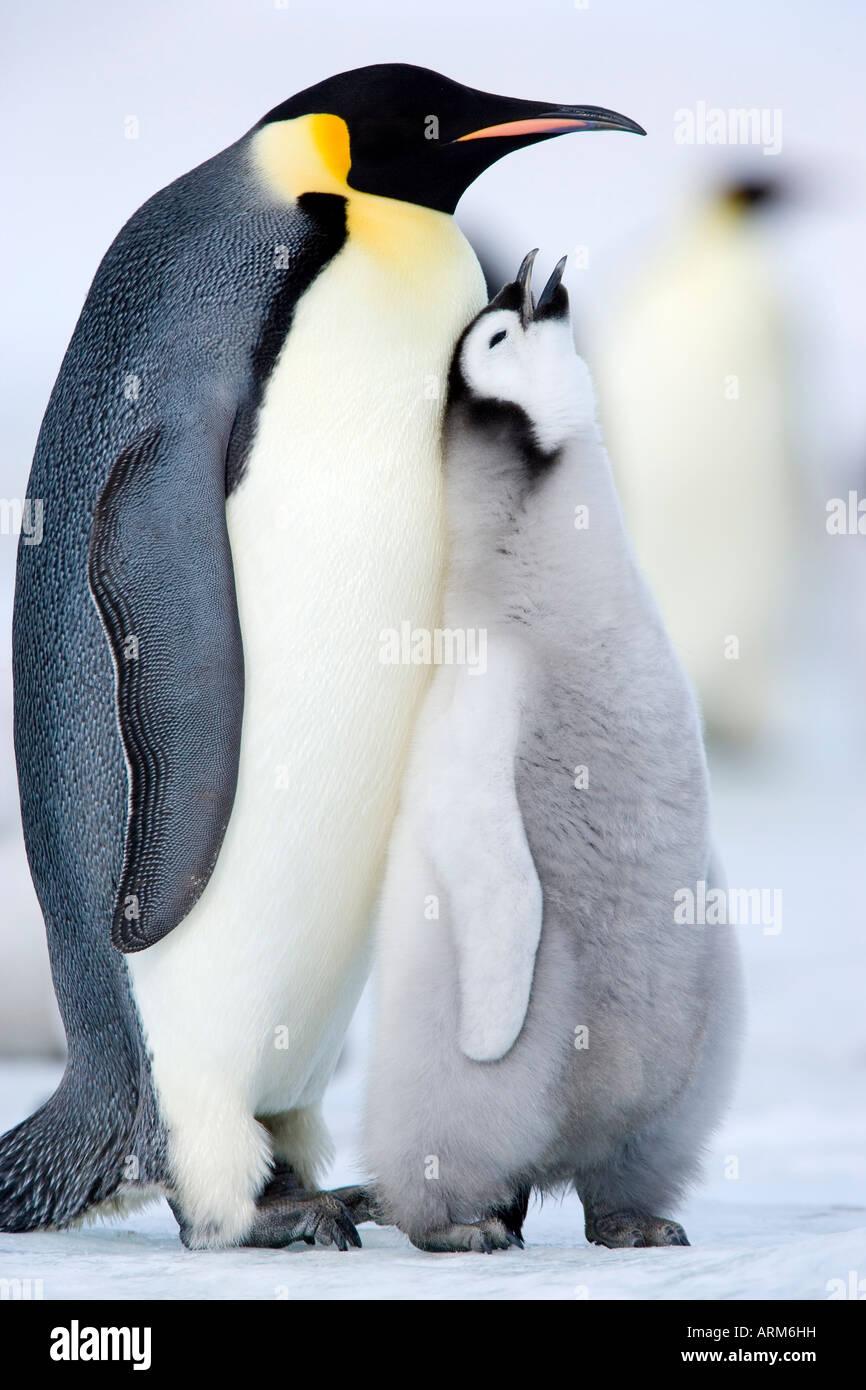 Emperor penguin chick and adult (Aptenodytes forsteri), Snow Hill Island, Weddell Sea, Antarctica, Polar Regions - Stock Image