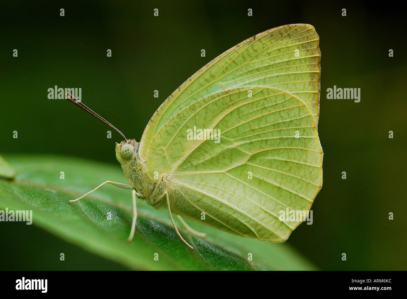 IKA101112 Butterfly Mottled Emigrant - Stock Image