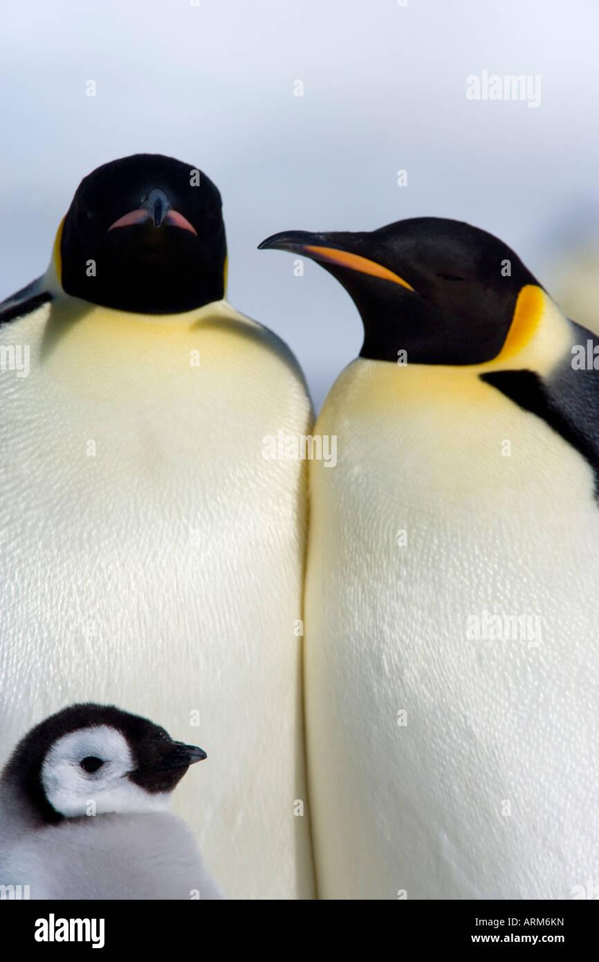 Emperor penguins (Aptenodytes forsteri), Snow Hill Island, Weddell Sea, Antarctica, Polar Regions - Stock Image