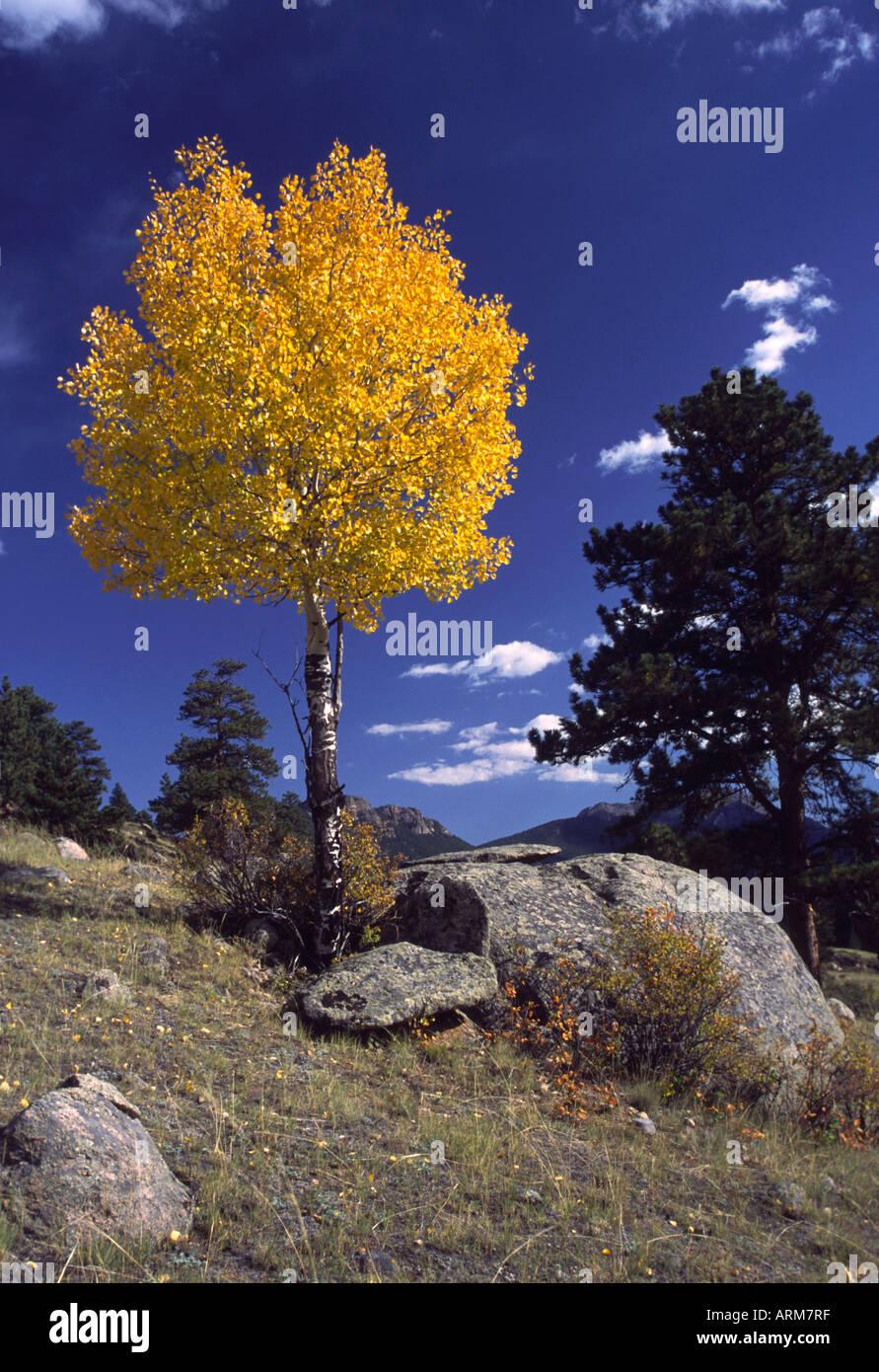 Single Aspen Tree In Autumn Color Rocky Mountain National Park Stock Photo Alamy