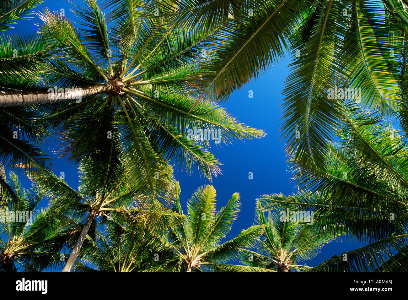 Palm trees, Palm Cove, Queensland, Australia, Pacific - Stock Image