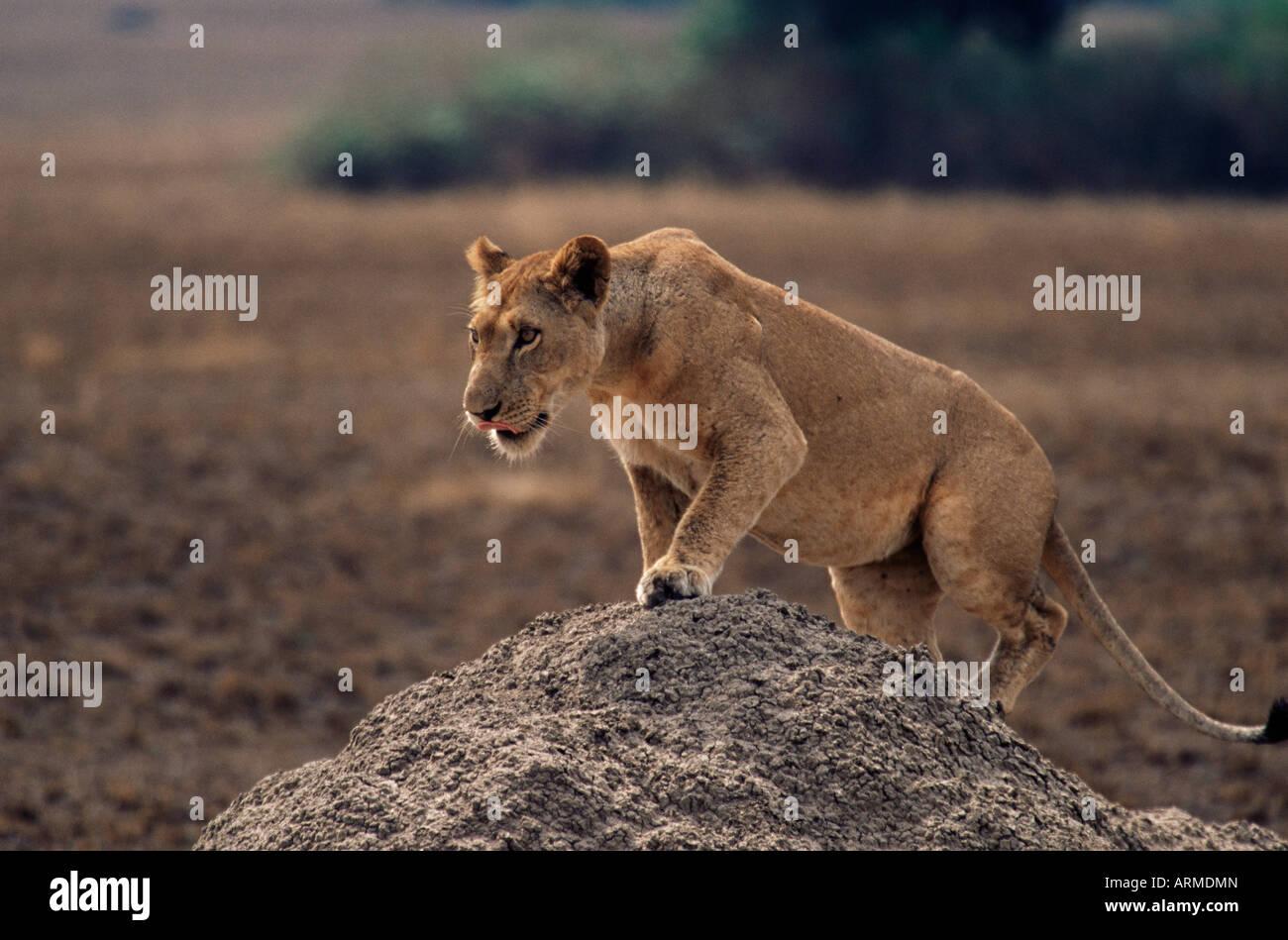 Lion (Panthera leo) on termite mound, Queen Elizabeth National Park, Uganda, East Africa, Africa - Stock Image