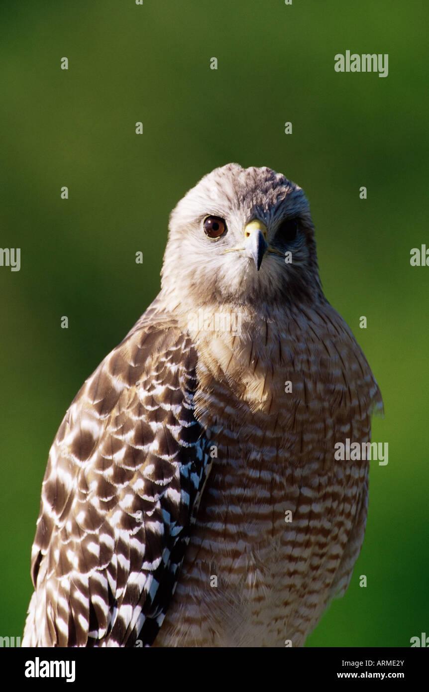 Red-shouldered hawk (Buteo lineatus), J. N. 'Ding' Darling National Wildlife Refuge, Florida, USA, North - Stock Image