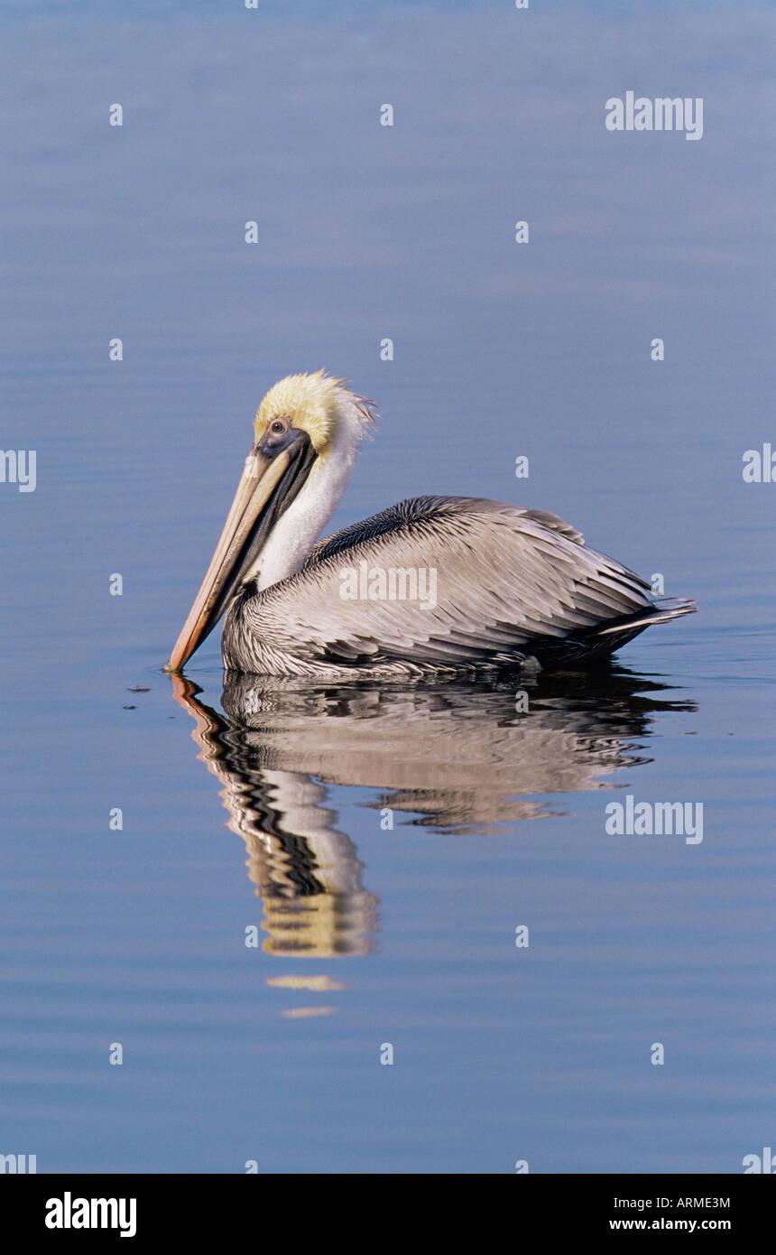 Brown pelican (Pelicanus occidentalis), J. N. 'Ding' Darling National Wildlife Refuge, Florida, USA, North - Stock Image