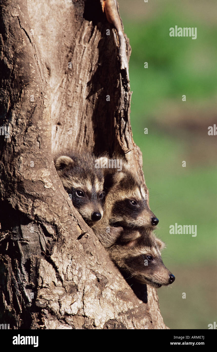 Raccoons (Racoons) (Procyon lotor), 41 day old young in captivity, Sandstone, Minnesota, United States of America, - Stock Image
