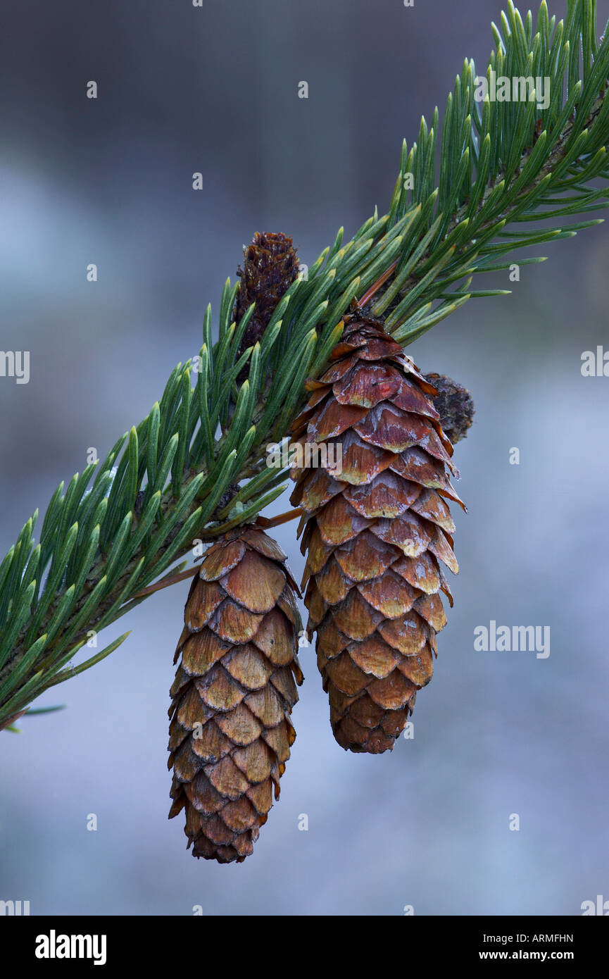 Spruce cones on a single branch, near Ouray, Colorado, United States of America, North America - Stock Image