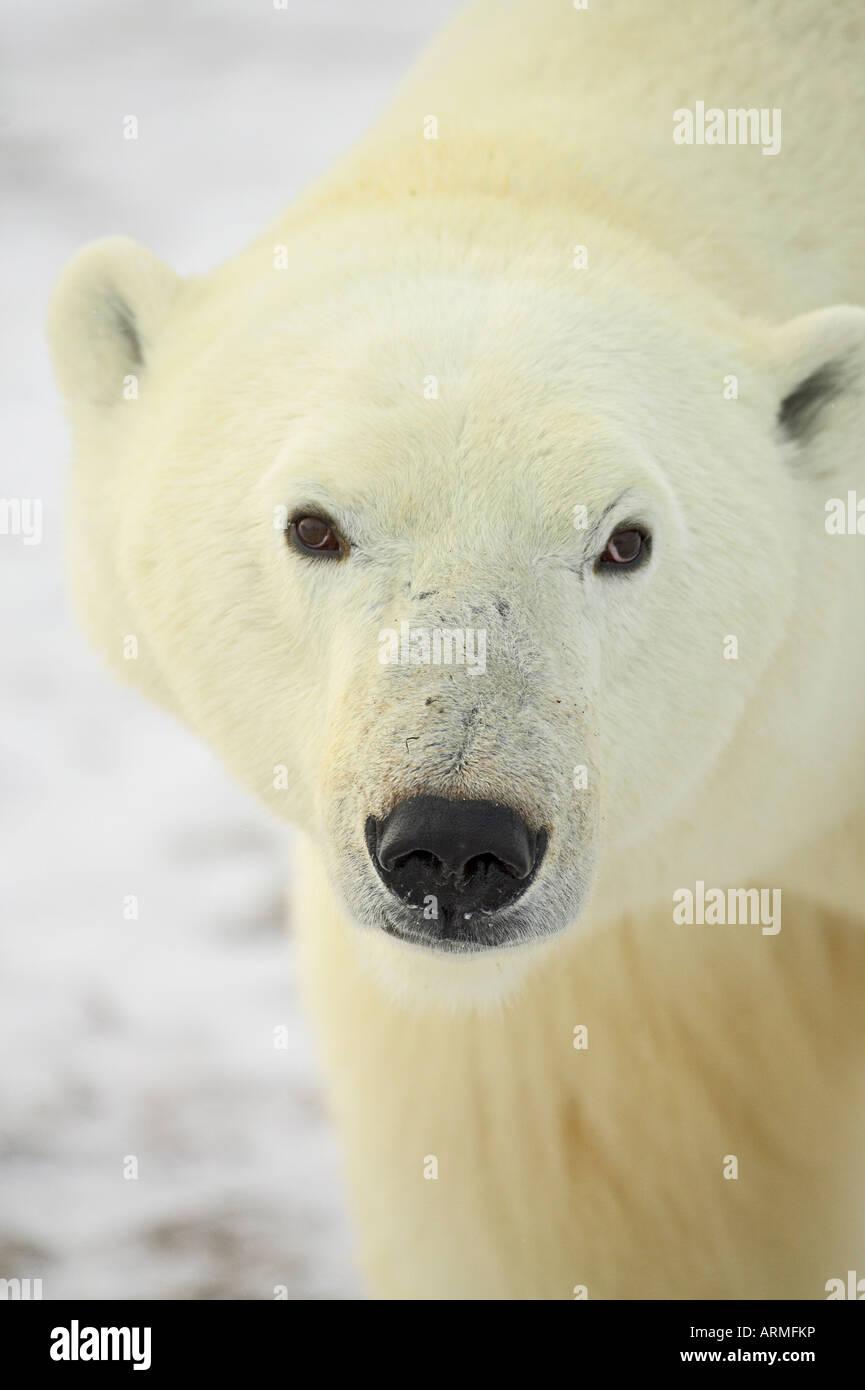 Polar bear (Thalarctos maritimus), Churchill, Manitoba, Canada, North America - Stock Image