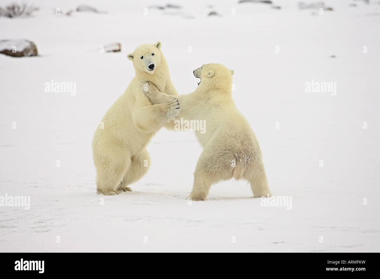 Two polar bears (Thalarctos maritimus) playing, Churchill, Manitoba, Canada, North America - Stock Image