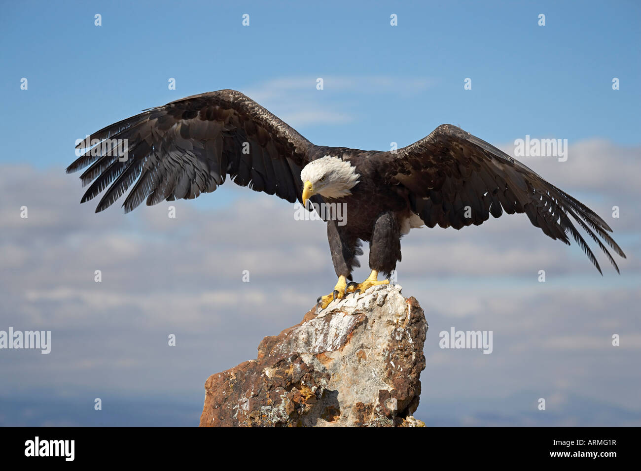 Bald eagle (Haliaeetus leucocephalus) perched with spread wings, Boulder County, Colorado, USA, North America - Stock Image