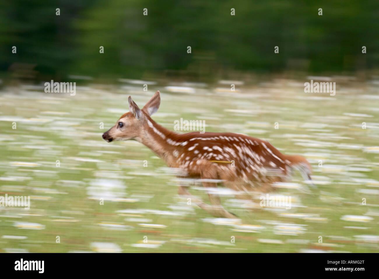 Captive whitetail deer fawn (Odocoileus virginianus) running through a field of wildflowers, Sandstone, Minnesota, - Stock Image