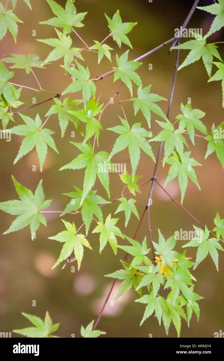 Japanese maple (Acer palmatum) at Korin-in Temple, which is a subtemple of Daitokuji Temple in Kyoto, Japan - Stock Image