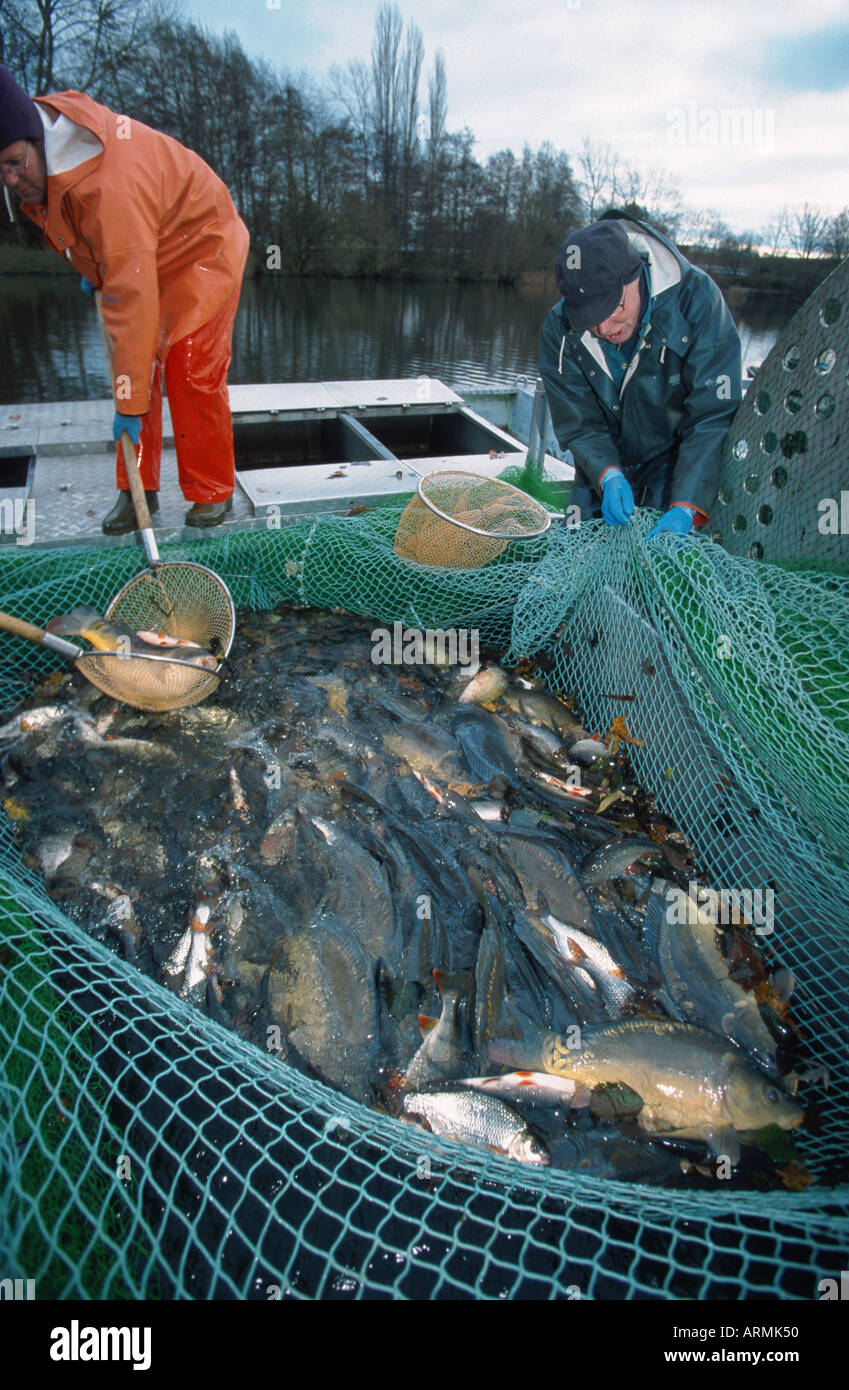 fishing net with carps, roaches etc. - Stock Image