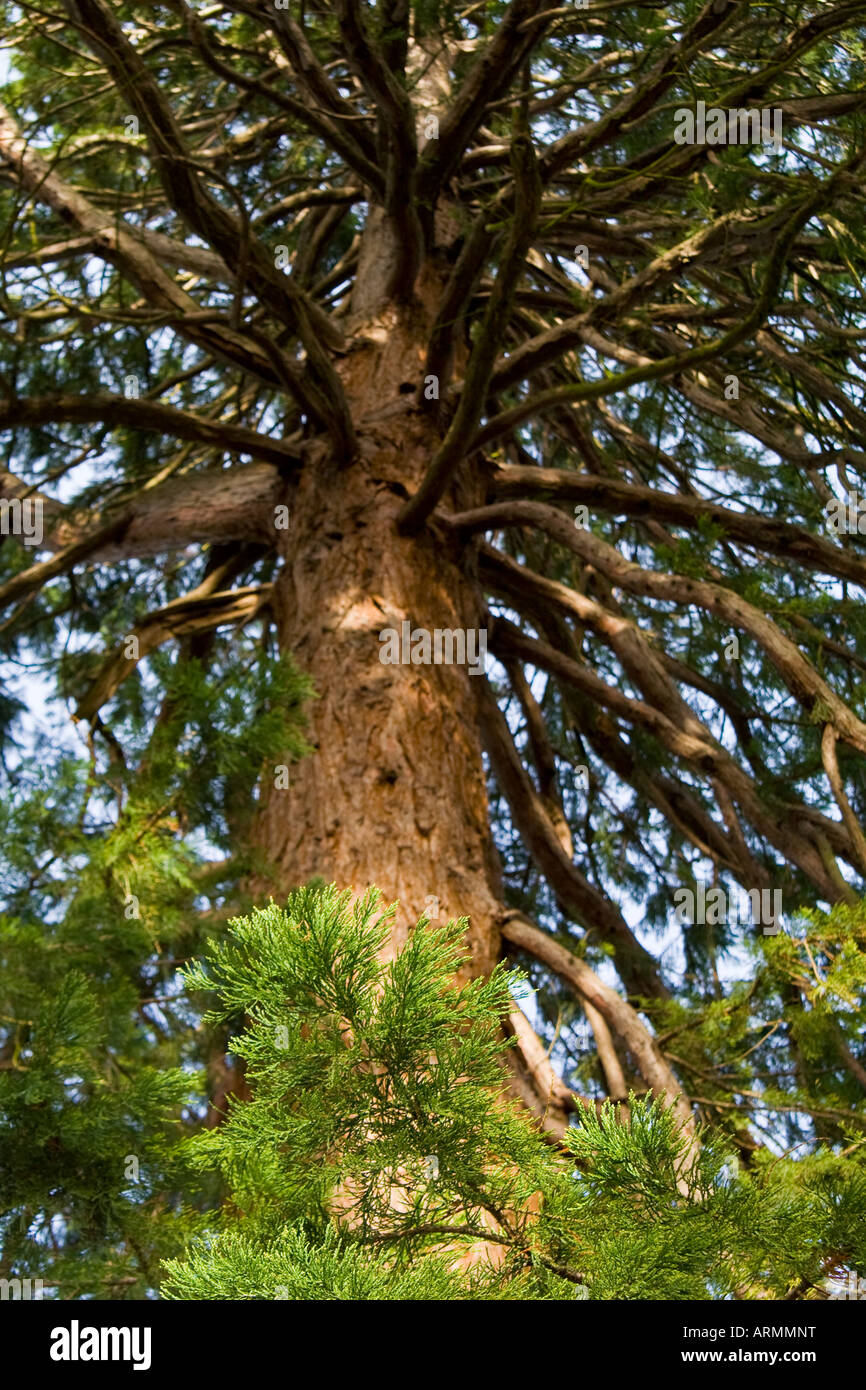 Conifer tree - Stock Image