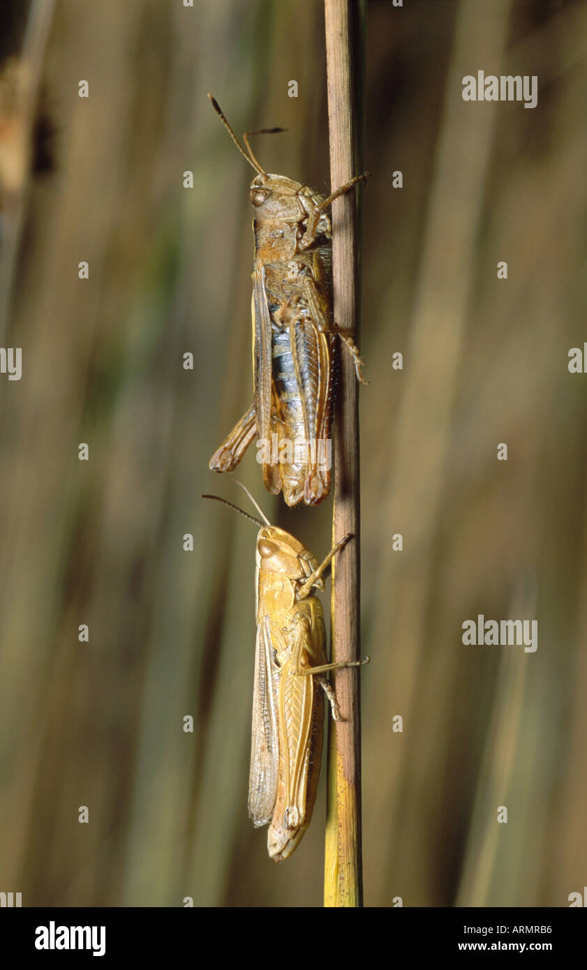 Grasshoppers ItalyStock Photos and Images