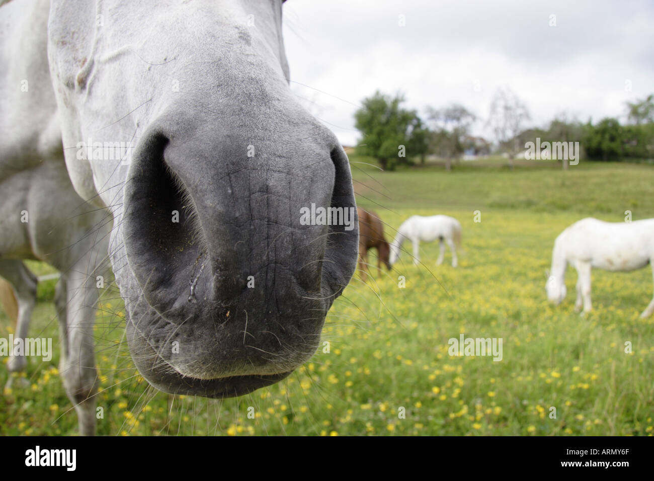 domestic horse on meadow (Equus przewalskii f. caballus), detail of mouth and, Germany, Black Forest Stock Photo