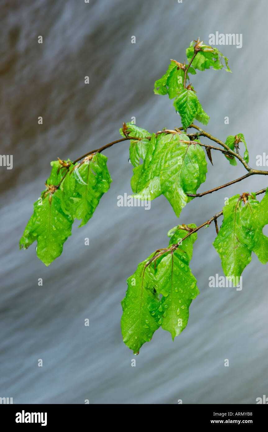 common beech (Fagus sylvatica), fresh beech leaves in front of flowing water, May. Stock Photo