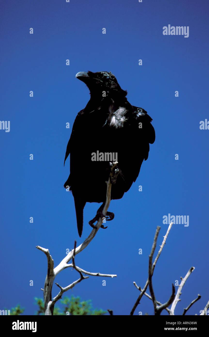 FL Florida Everglades National  Park raven black bird swampy wetlands - Stock Image
