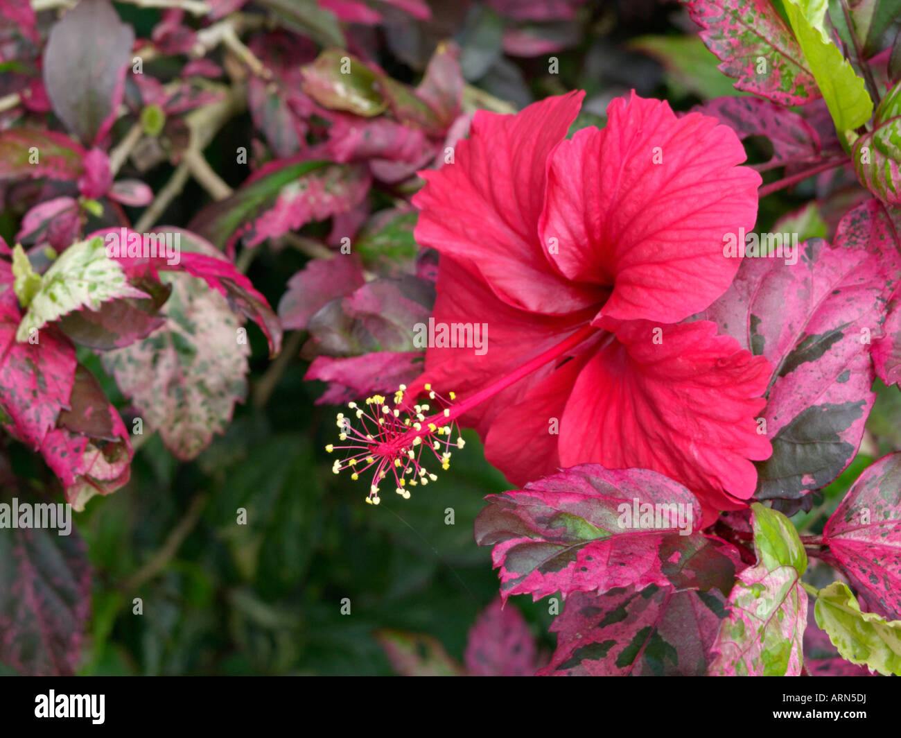 Flower Parts Red Hibiscus Rosa Sinensis Stock Photos Flower Parts