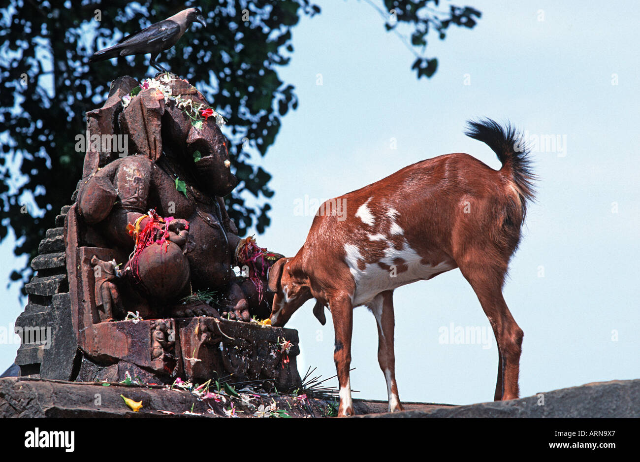 A goat eating the petals of flowers left by supplicants at a shrine to Ganesh Khajuraho Madyha Pradesh India - Stock Image