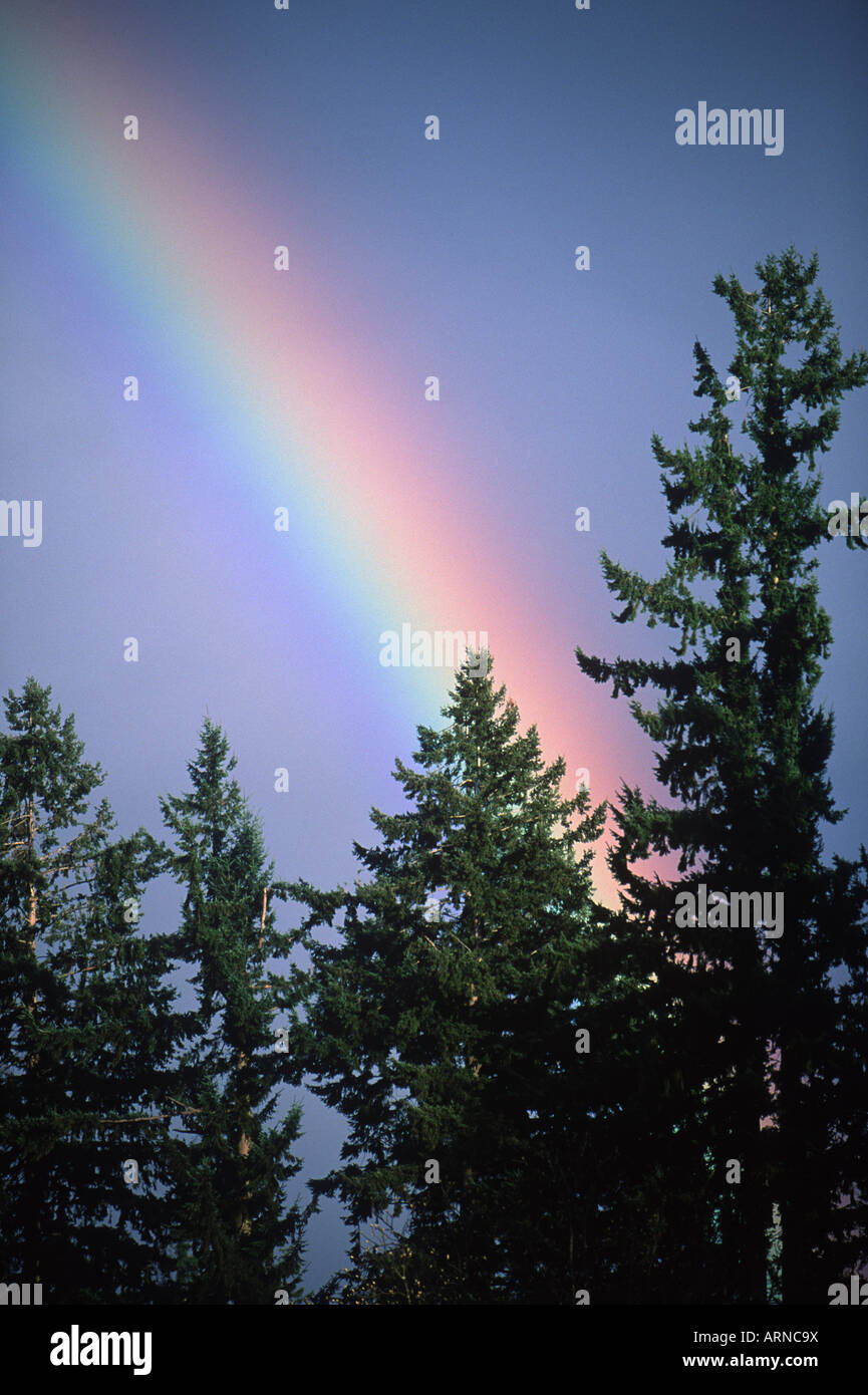 rainbow and softwood tree tops, Vancouver Island, British Columbia, Canada. - Stock Image