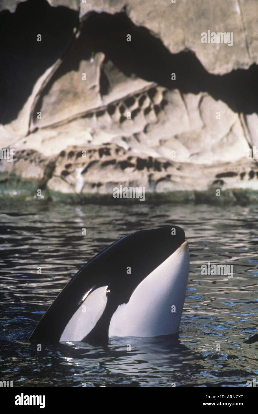 Spy hopping orca (orcinus orca) off Saturna Island, Vancouver Island, British Columbia, Canada. - Stock Image