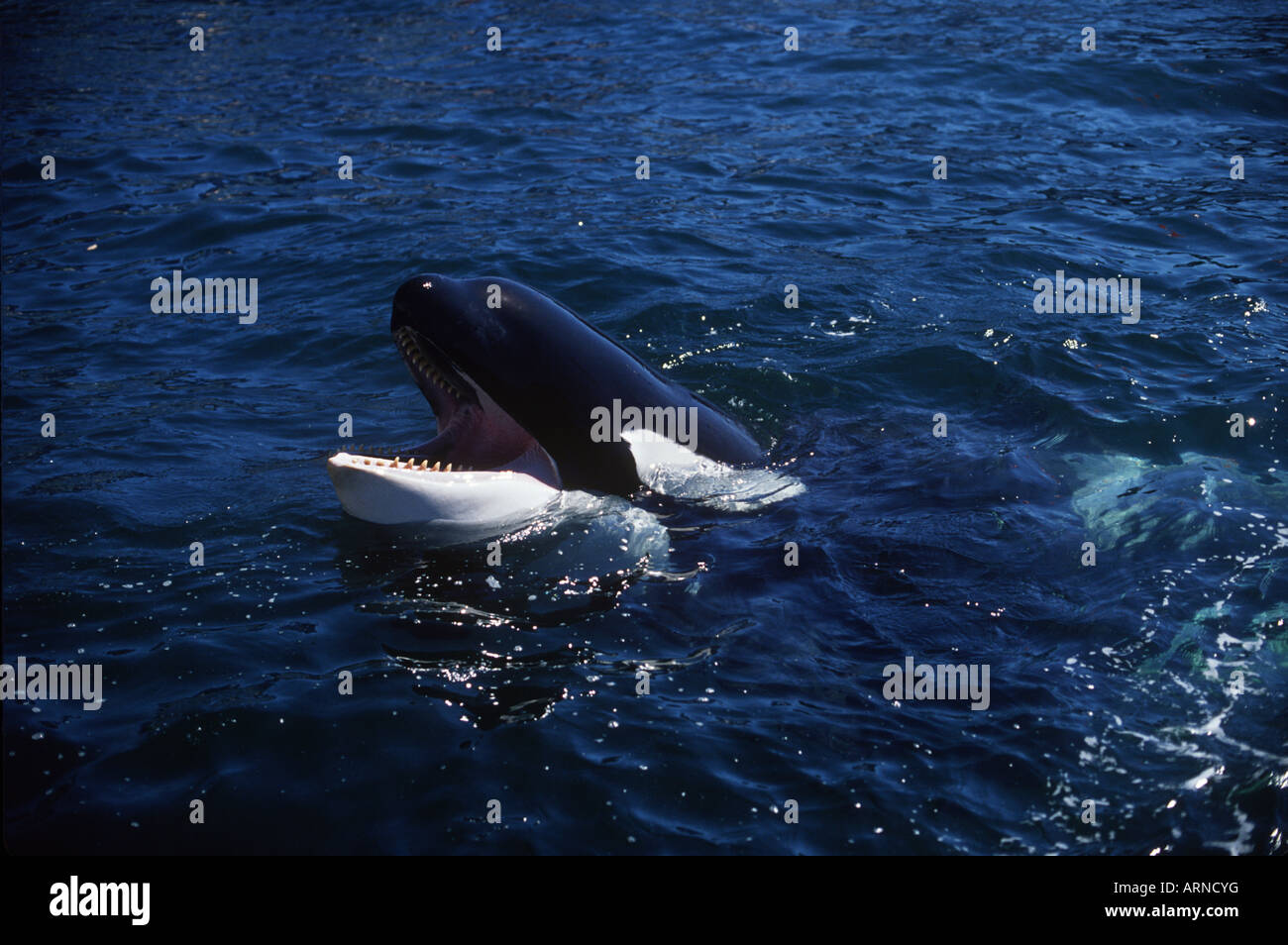 Killer whale (orcinus orca), Vancouver Island, British Columbia, Canada. Stock Photo