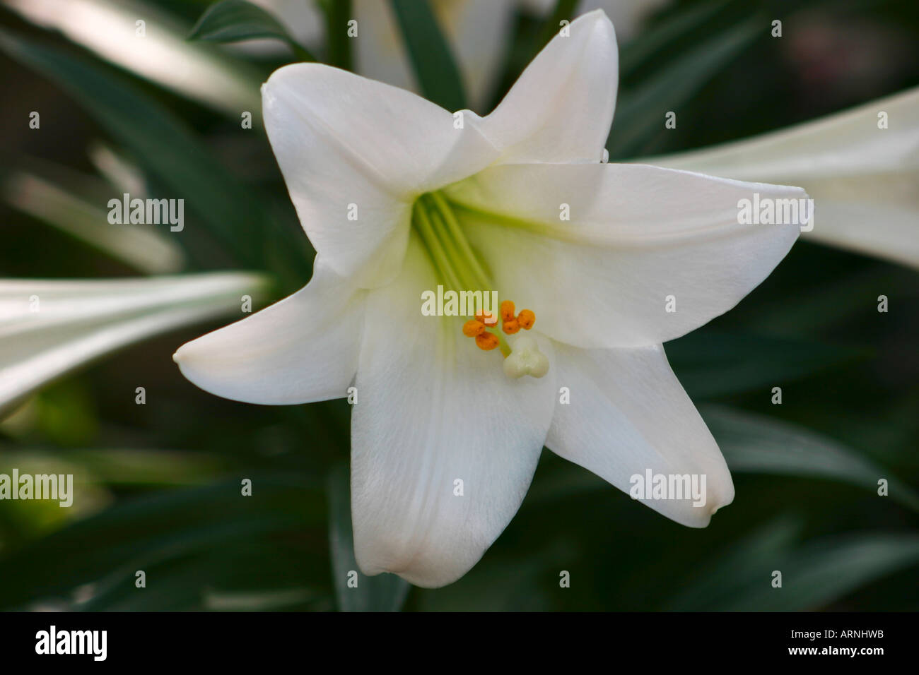 Japanese easter lily flower stock photo 9198170 alamy japanese easter lily flower izmirmasajfo