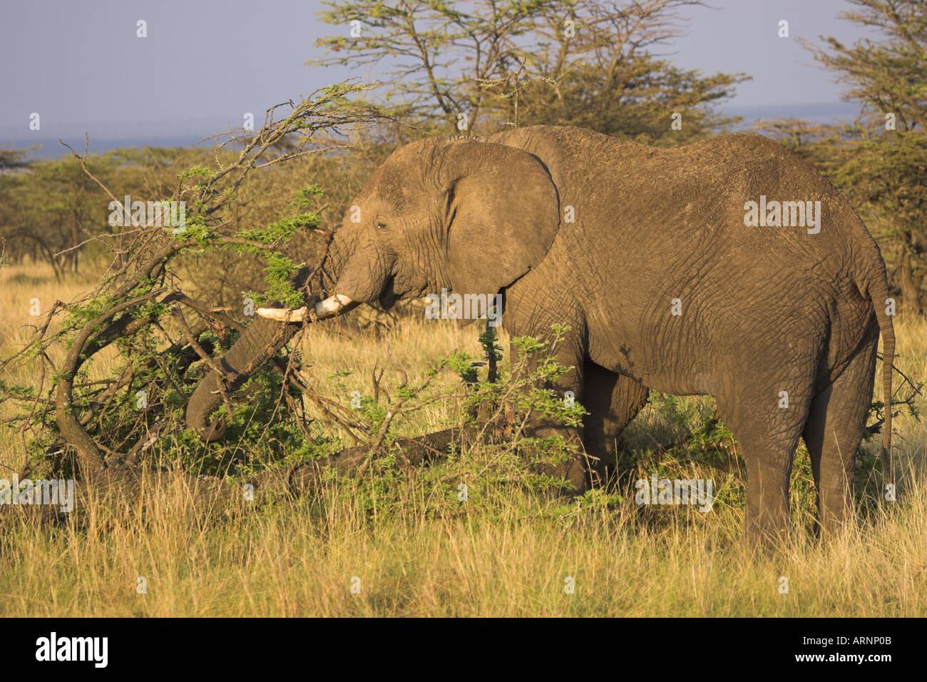 African elephant Loxodonta africana eating - Stock Image