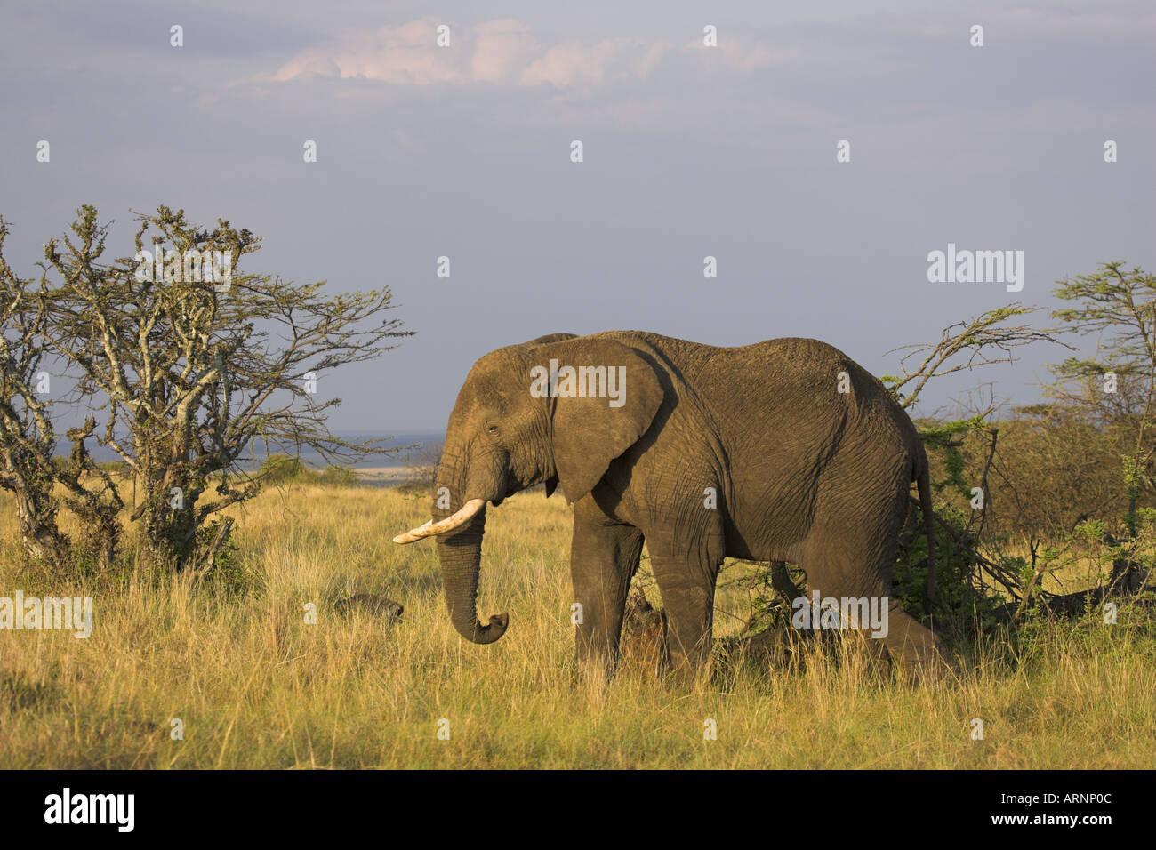 African elephant Loxodonta africana - Stock Image