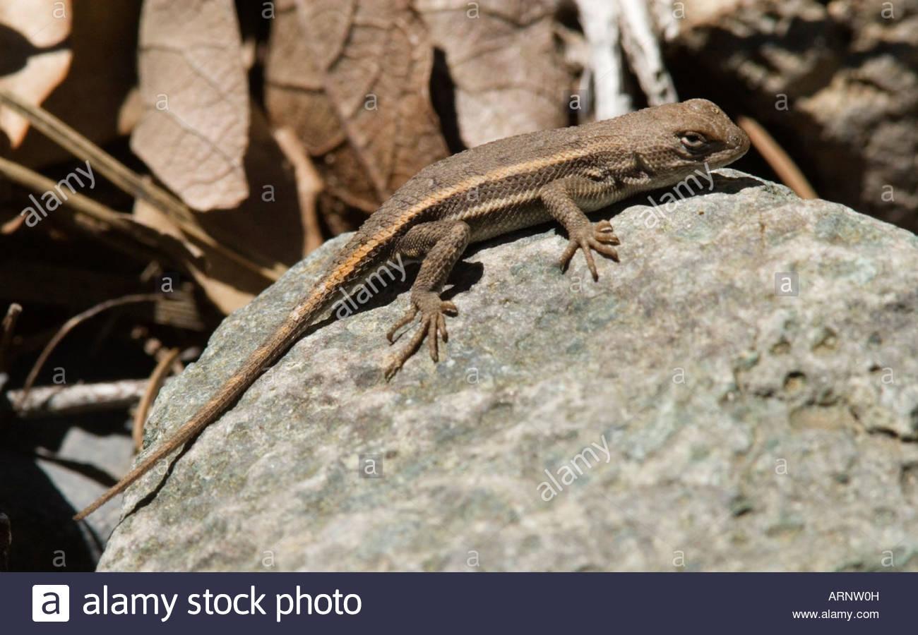 Striped Plateau Lizard Sceloporus virgatus Stock Photo