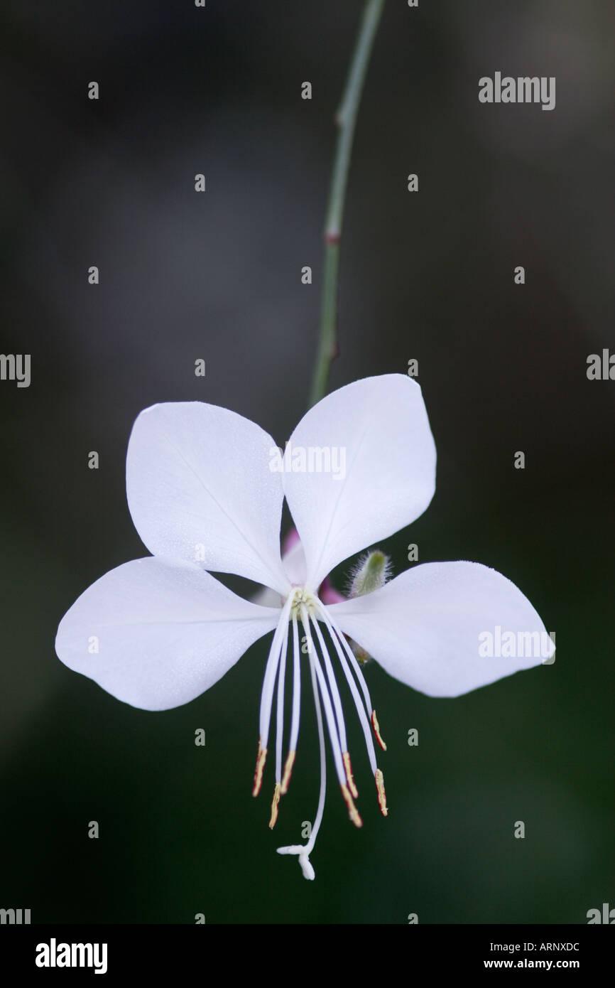 Close up of white Gaura Lindheimeri Flower - Stock Image