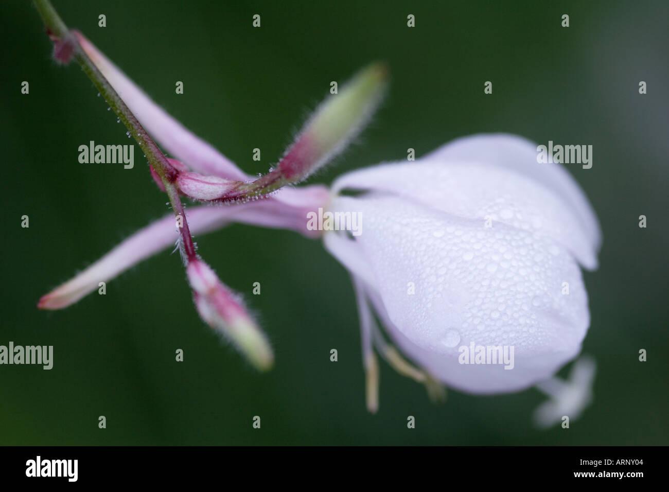 Close up of white Gaura Lindheimeri Flower bud - Stock Image