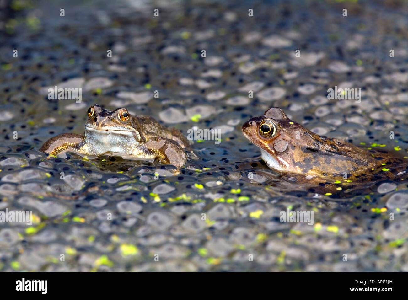 common frogs Rana temporaria amongst frog spawn - Stock Image