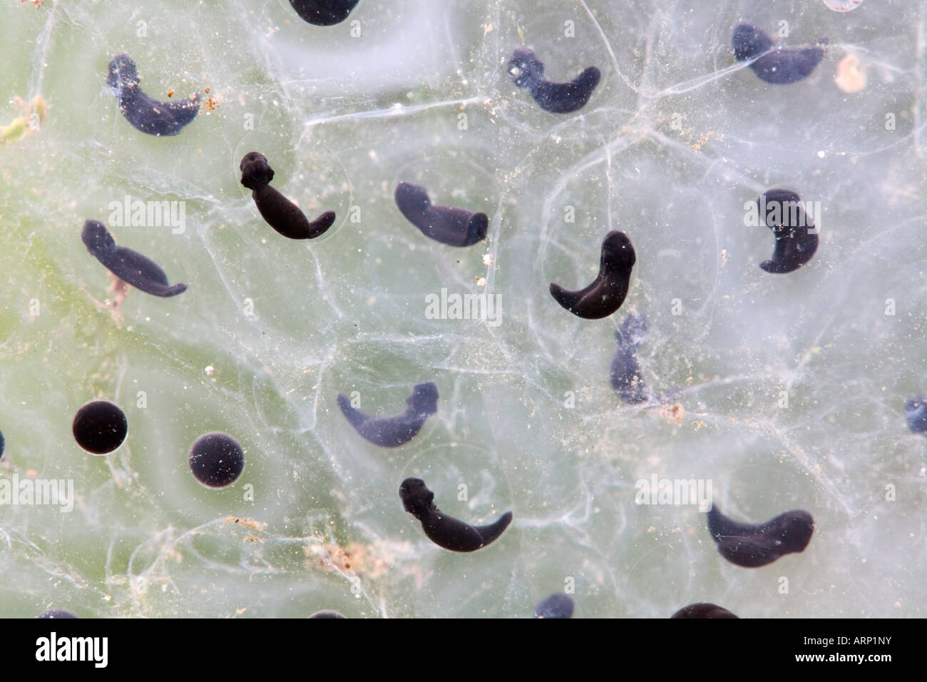 common frog spawn Rana temporaria tadpoles just developing - Stock Image