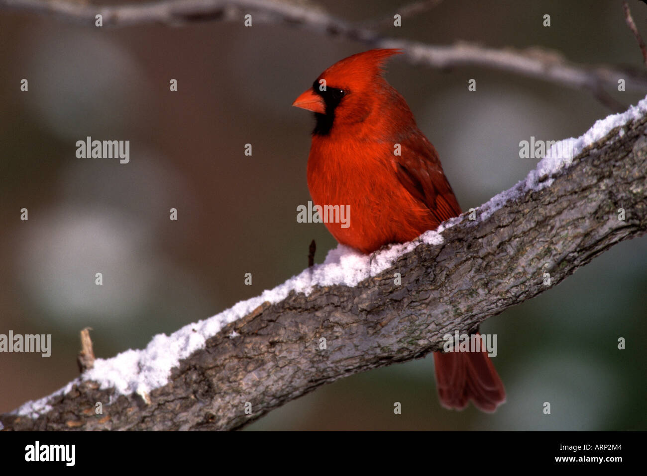 Male Northern Cardinal - Stock Image